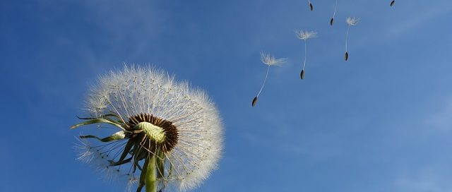 A dandelion blowing in the wind