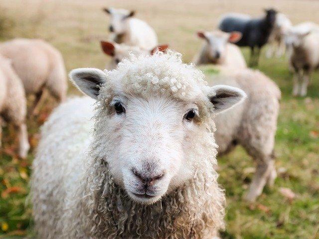 Listening Sheep
